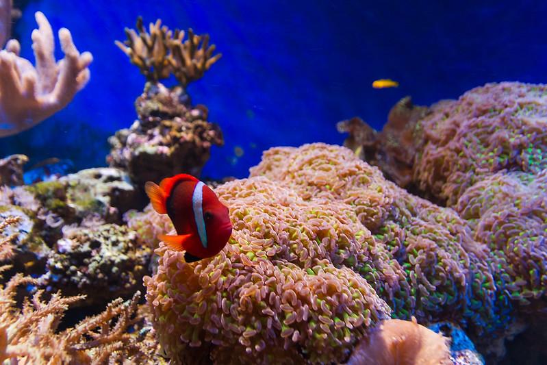 Clownfish in Bristol Aquarium.
