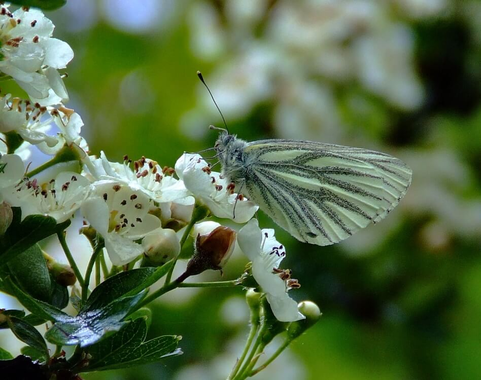 A light green butterfly perching on white flowers at Humber Bridge Country Park.