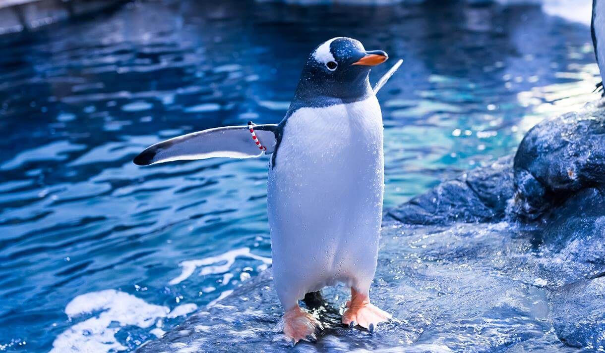 A penguin playing in the water at The Deep in Hull.