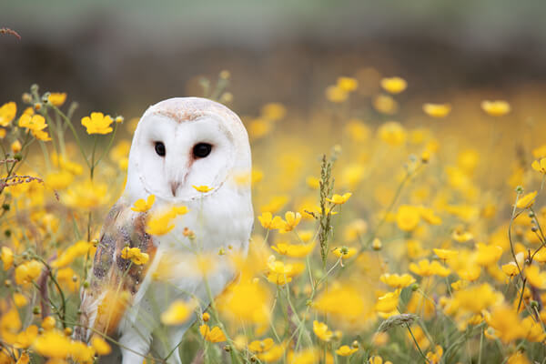 Snowy owl among a field of yellow buttercups at Bridlington Birds of Prey & Animal Park.