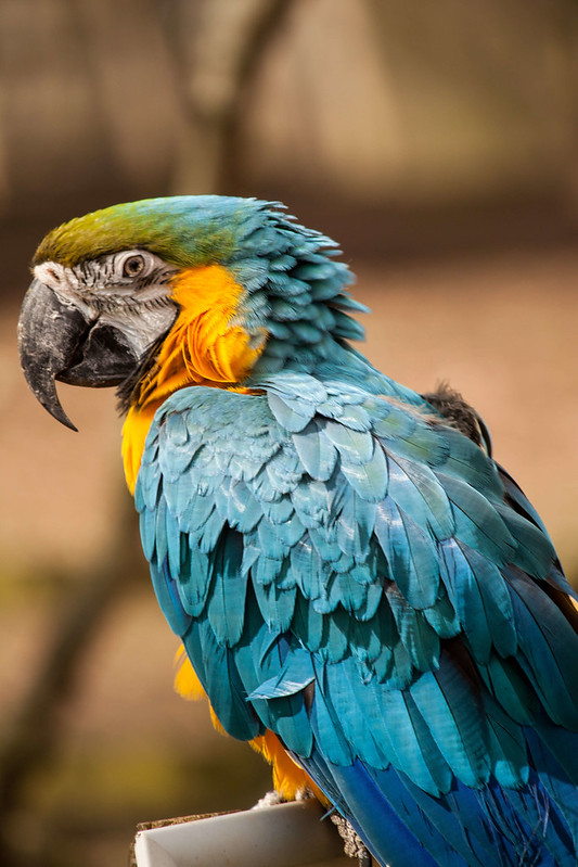 A blue and yellow parrot at Wetheriggs Zoo & Animal Sanctuary.