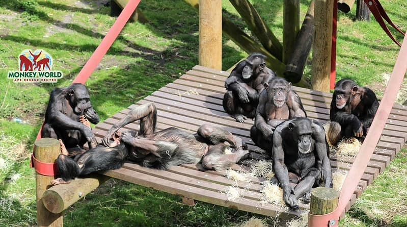 A group of monkeys lounging on wooden frames at Monkey World Ape Rescue Centre.