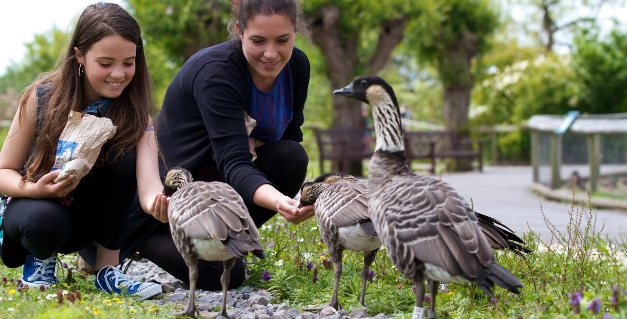 Visitors feeding the geese at Slimbridge Wetland Centre.
