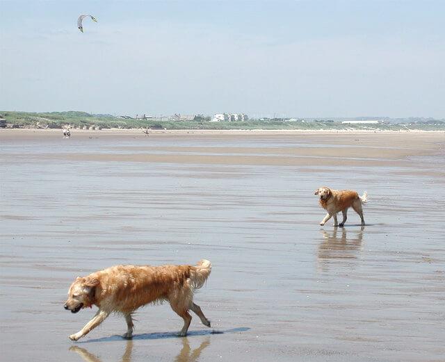 Two golden retrievers walking on the sand at Fraisthorpe Beach.