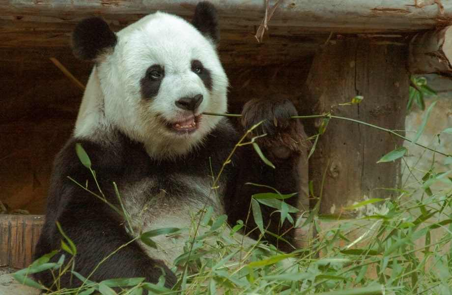 Choose from these 50 punny panda names for your baby.