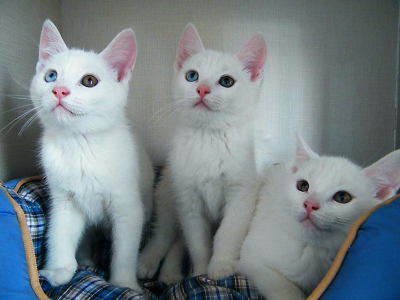 Add a flair of exclusivity to your loved white kitten with these names.