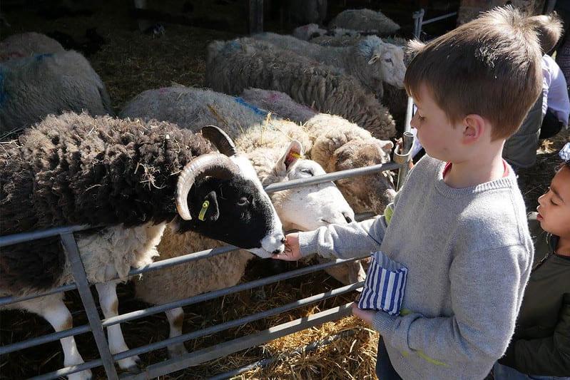 A boy feeding sheep at Stonehurst Family Farm.