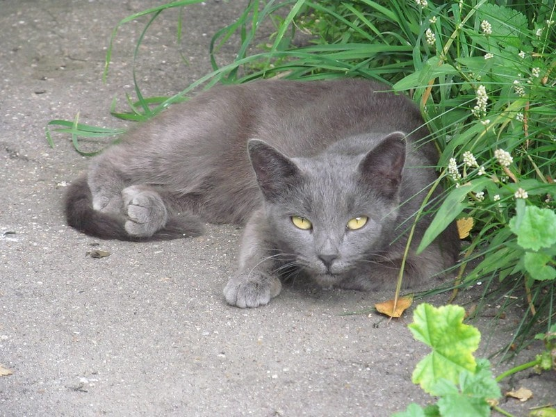 Grey cat name in another language is cute.