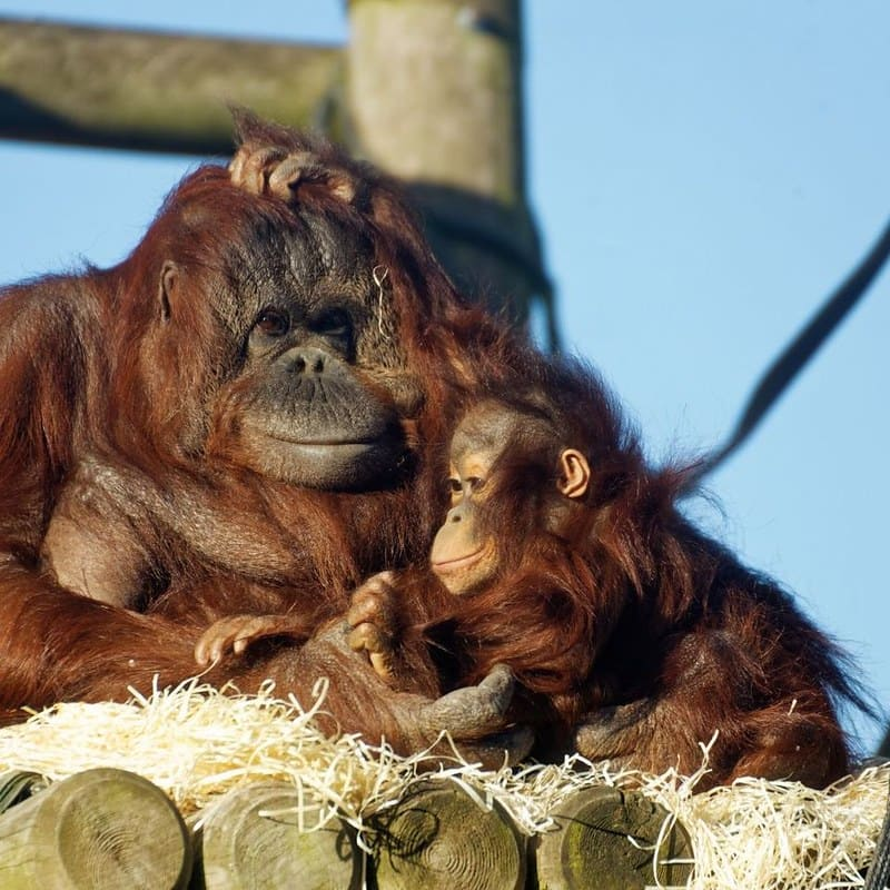 A monkey with its baby at Twycross Zoo.