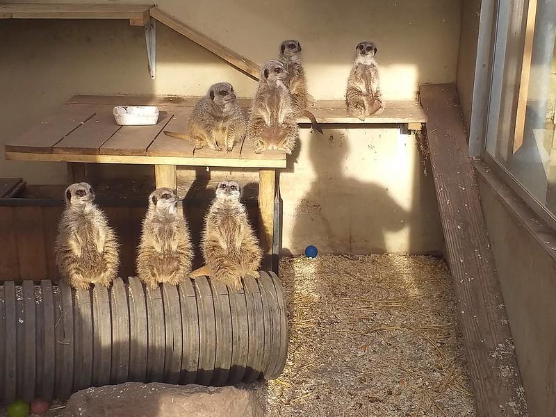Meerkats sitting at The Jungle Zoo.