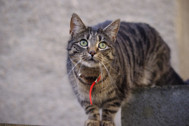 This cute tabby with red collar is adorably gazing upwards.