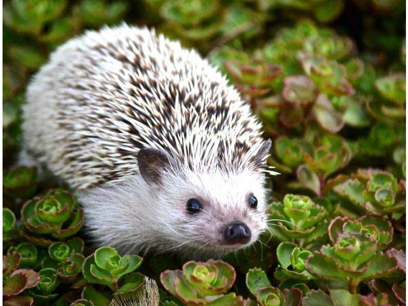 Adorable hedgehog is calmly resting atop a bunch of kalanchoes.