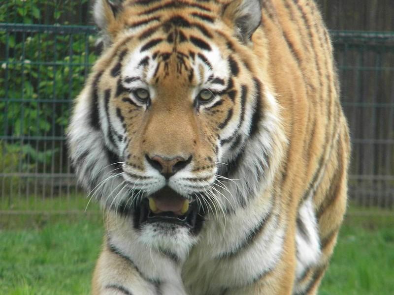 Tiger walking in Blackpool Zoo.