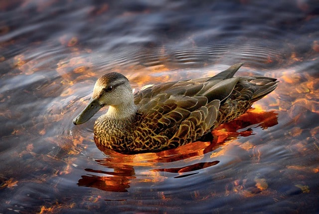 A portrait of a colored duck swimming in a pond.