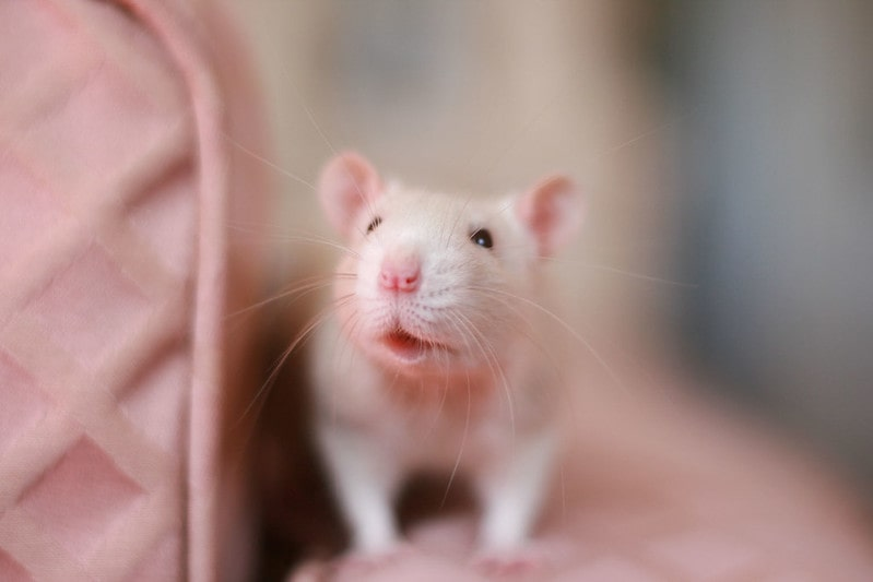 Light-colored rats are great pets for kids.