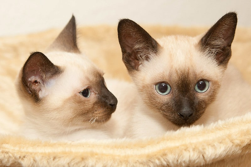 Siamese kittens with identical fur colors.