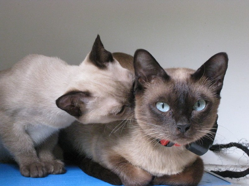 Adorable Siamese cat couple.