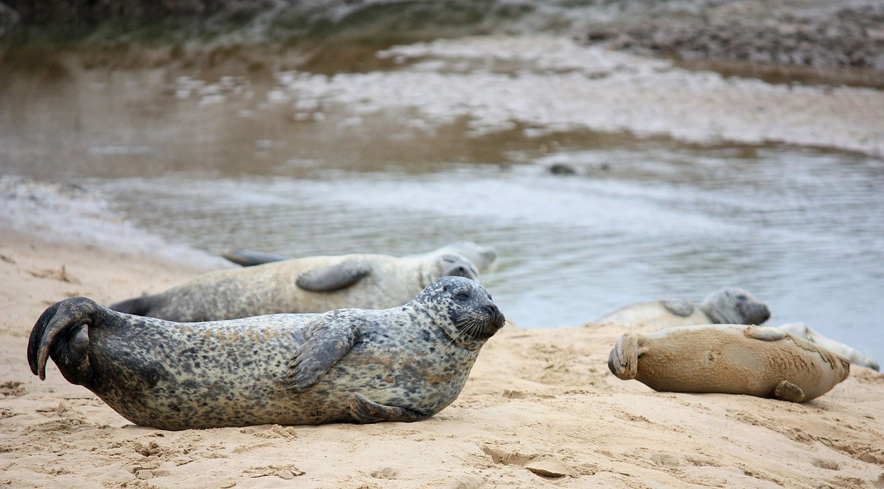 There are 33 known species of seals, all categorized as pinnipedia.