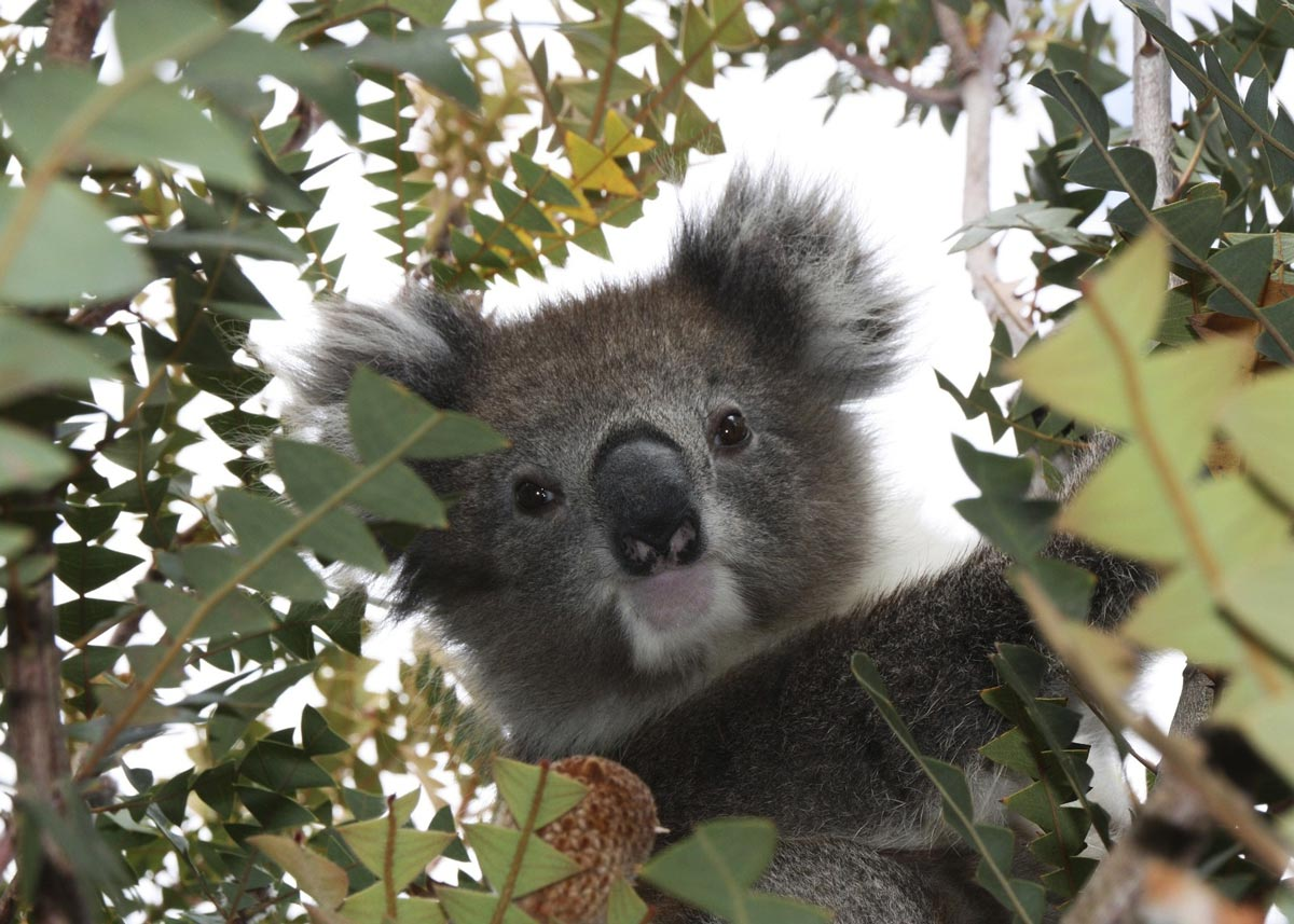 Koala Bears may sleep up to 18 hours per day.