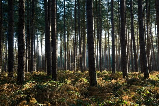 The Sherwood Pines Forest, full of trees.
