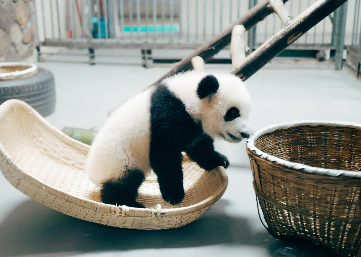 A day in the life of a panda consists solely of eating and sleeping.