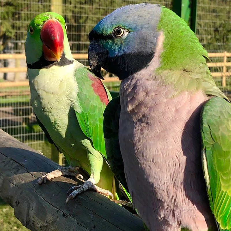Two colourful parrots at Lincolnshire Wildlife Park.
