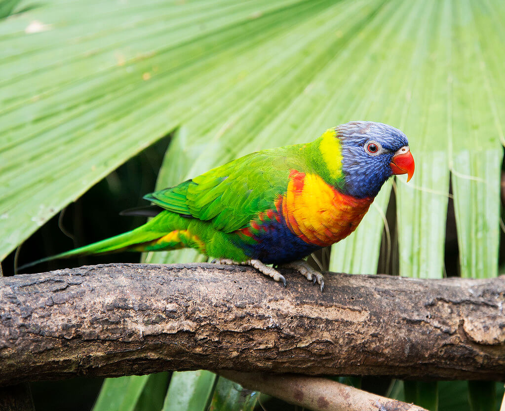 A rainbow lorikeet perching on a branch in front of some leaves at Bugtopia.