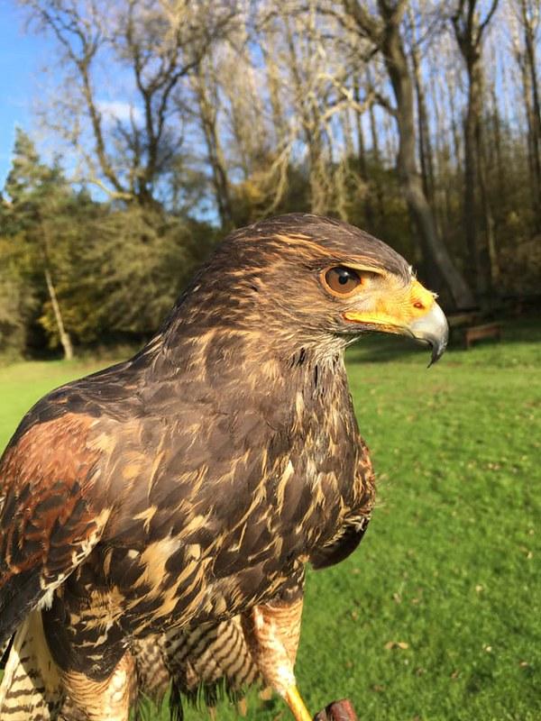 Hawk, bird of prey at Rutland Falconry and Owl Centre.