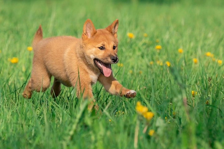 (A Japanese dog name could be the perfect name for your pet with many different inspirations.