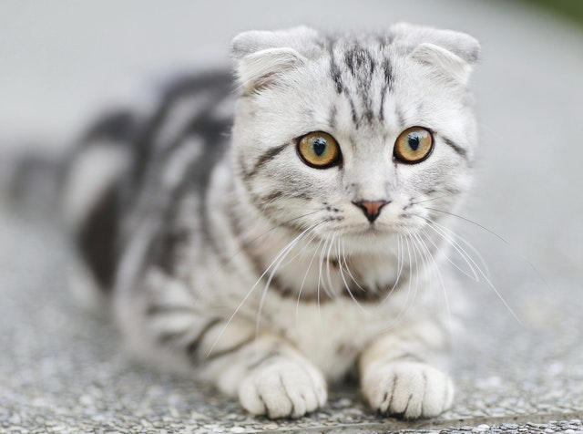 49 Terrific Tiger Names For Your Cat By Kidadl