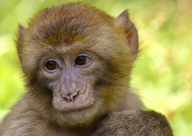 Many choose names for monkeys  that are rooted in history.