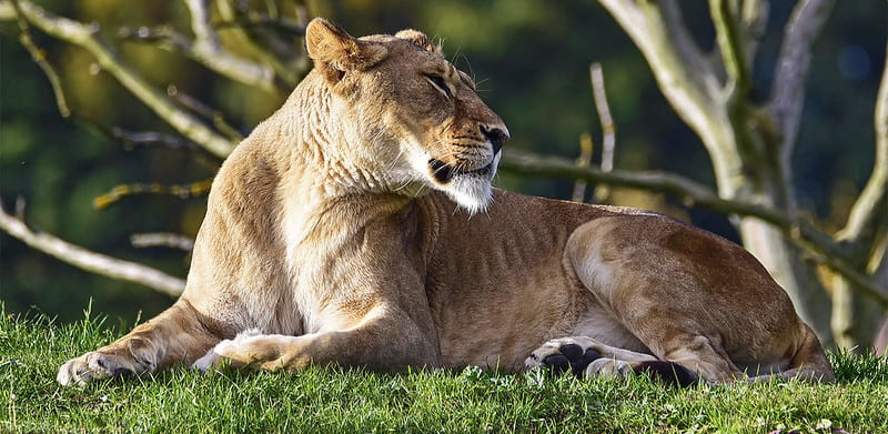 A lioness lying down at Yorkshire Wildlife Park.