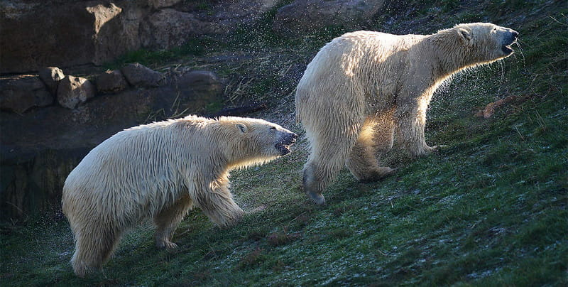 Two polar bears walking at Yorkshire Wildlife Park.