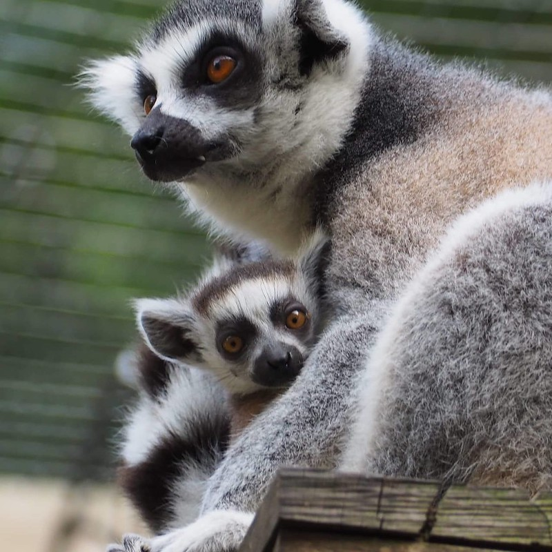 Lemur mother with baby lemur at Hoo Farm Animal Kingdom.