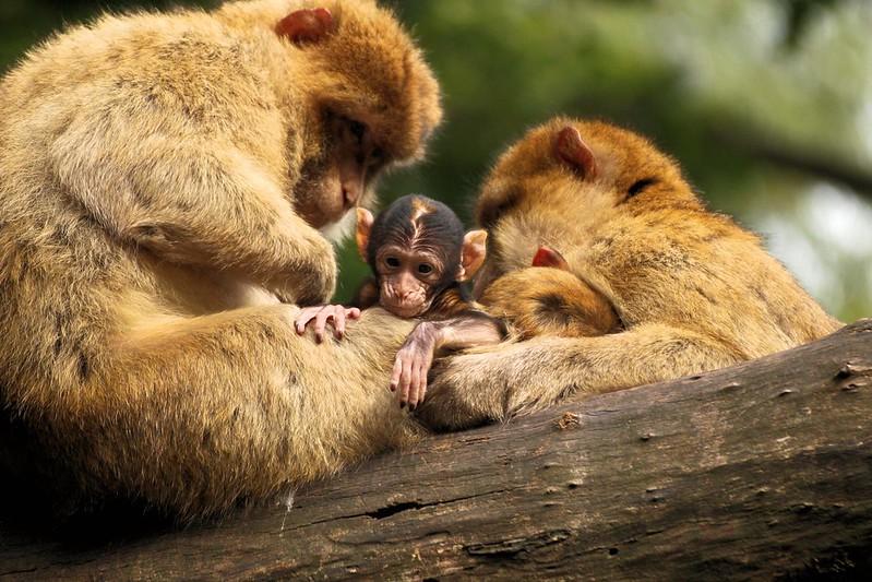 Monkey family on branch at Trentham Monkey Forest.