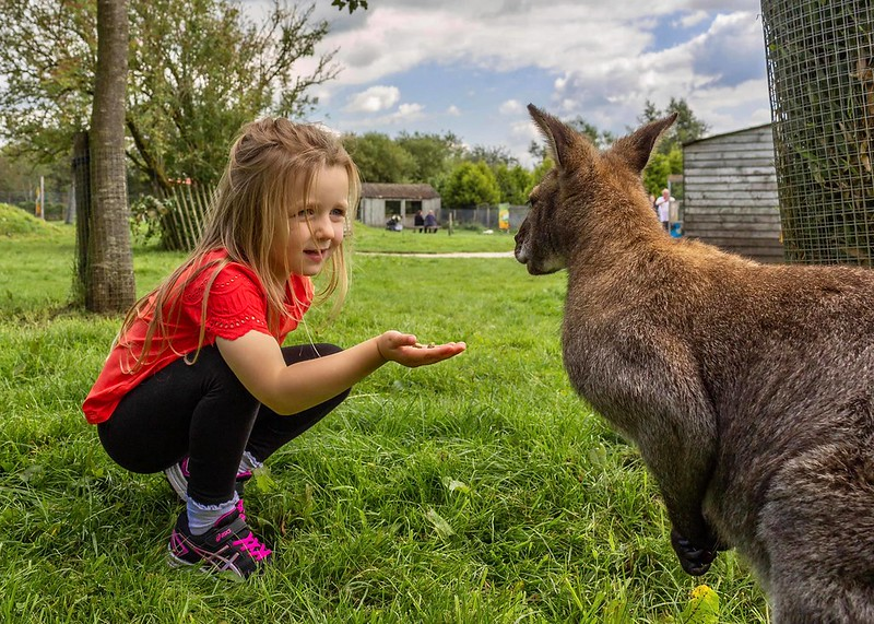Girl feeding wallaby at Peak Wildlife Park.