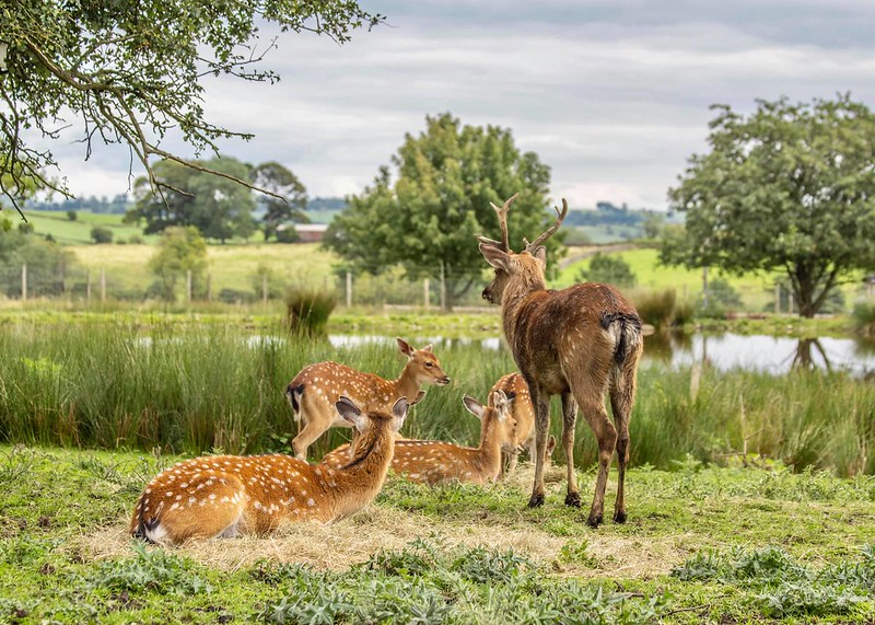Deer family in landscape by lake at Peak Wildlife Park.