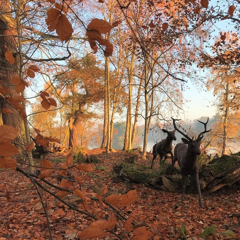 Trentham Estate deer and woodland in autumn.