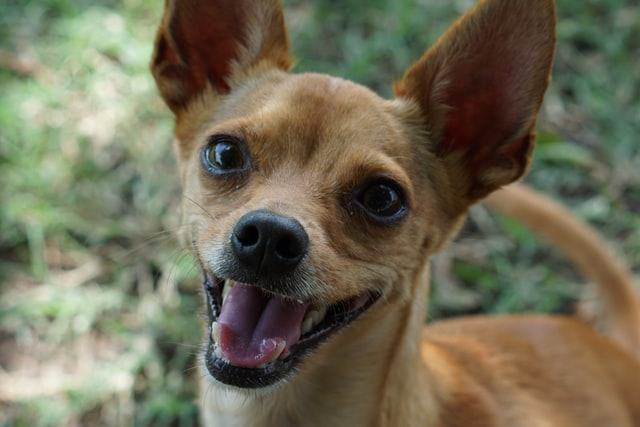 It is a good idea to give Chihuahuas small and fiery names.
