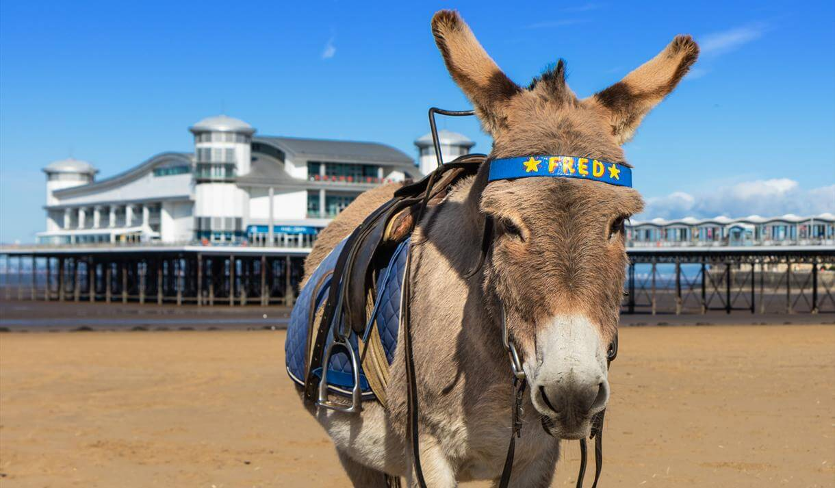 One of the donkeys on Weston-super-Mare beach with a bridle that says 'Fred'.