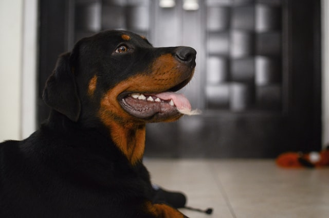 Give your female Rottweiler a fitting name.