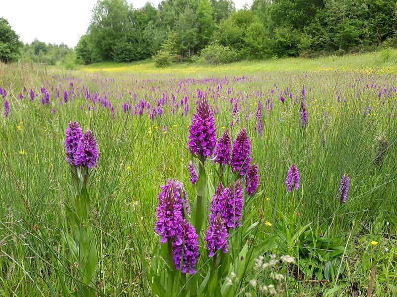 Purple flowers growing in a field at Baggeridge Country Park.