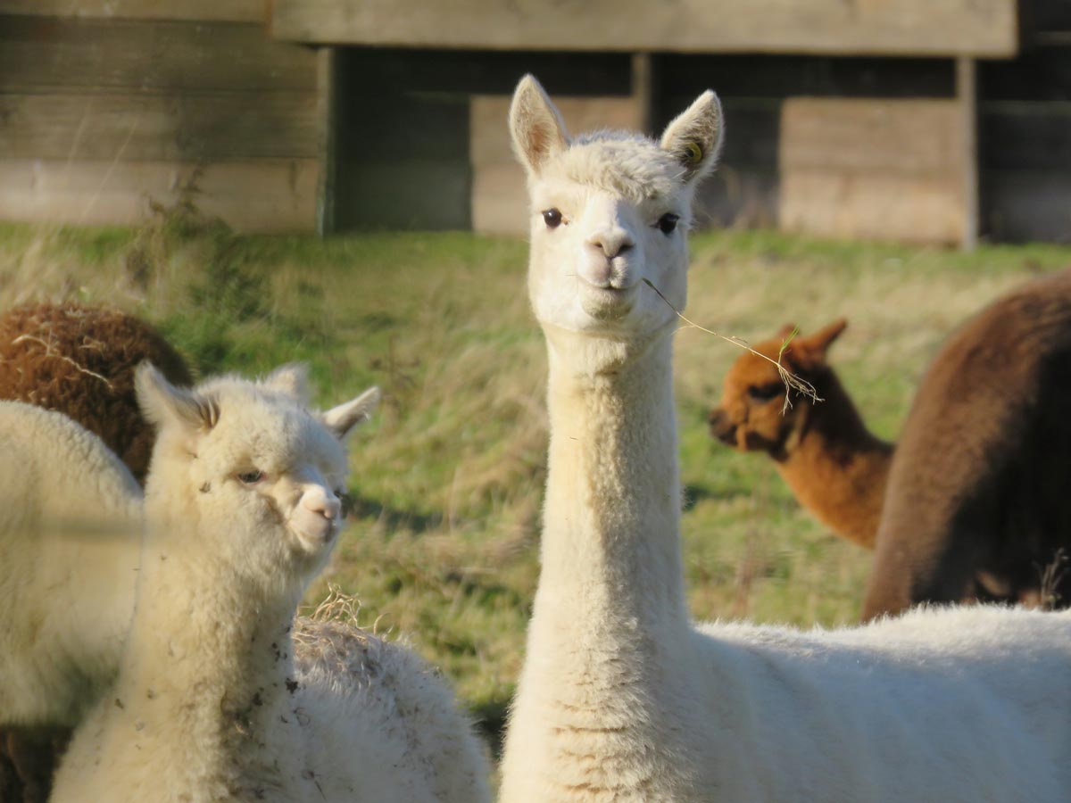 Alpaca puns make you think creatively and also make you giggle.