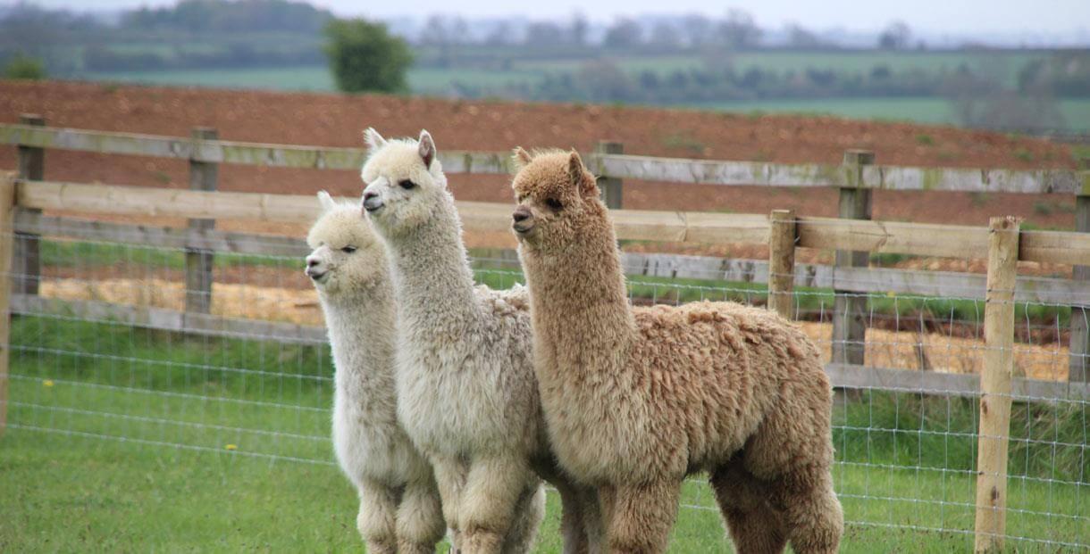Three fluffy alpacas on the green grass at Fairytale Farm.