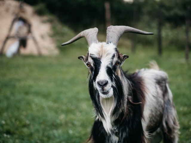 (Goat names come with great meanings.