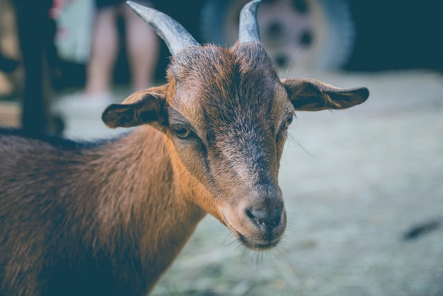 Goats are both adorable and noble and their names can be unisex too.
