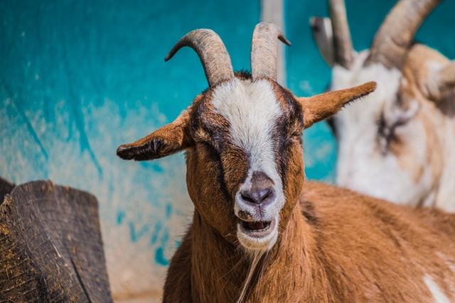 Goat names can be both adorable and funny.