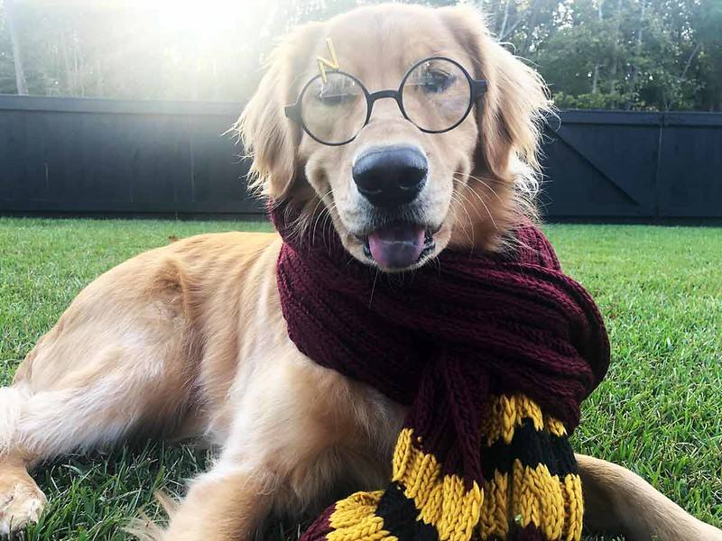 Harry Potter themed dog names are a great idea for your pet if you're a fan of the books and movies.