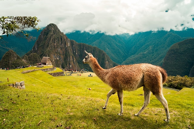 Llamas are generally found in South America.