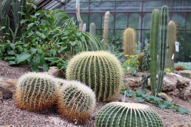 Cacti in one of the temperate glasshouses at Glasgow Botanic Gardens.